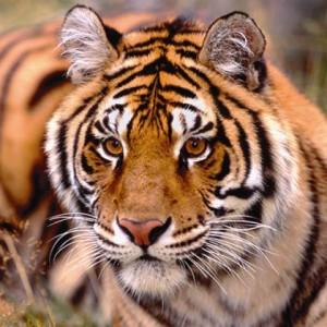 tigre tattoo cinese